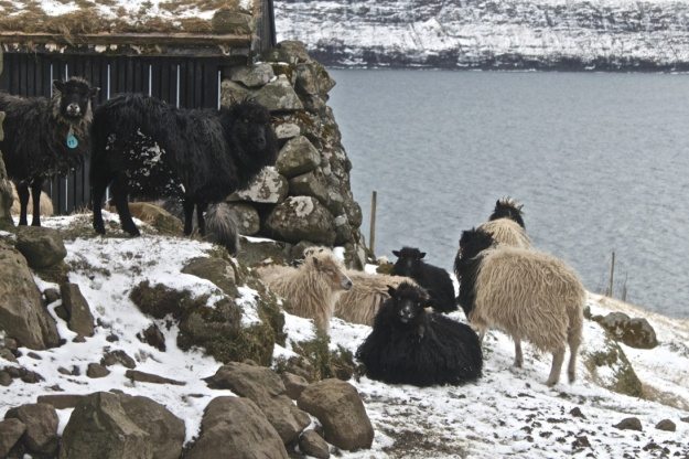 Múli was the last village in the Faroe Islands to get electricity. Now it is all but abandoned, but many sheep live there and walk among it's houses.