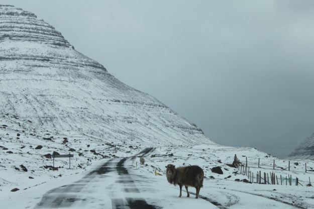 A sheep walking on the road leading to the village of Múli.